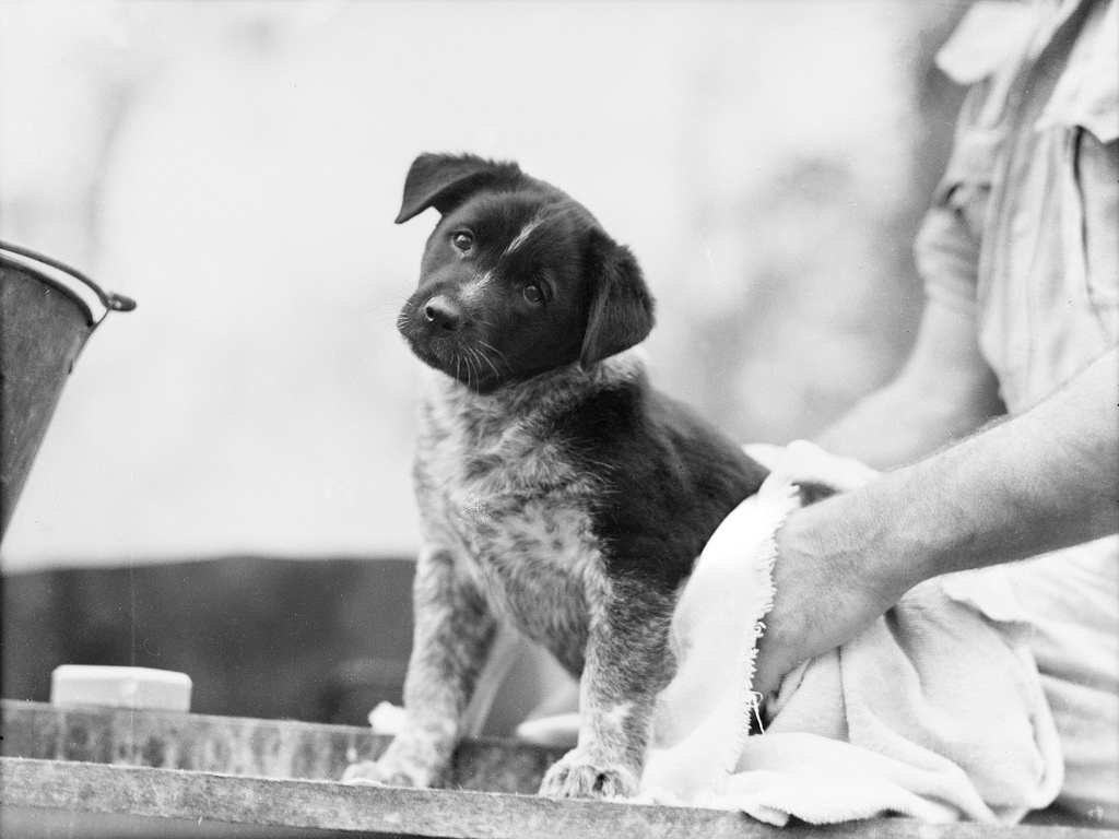 A black-and-white photo of a puppy being dried after a bath.